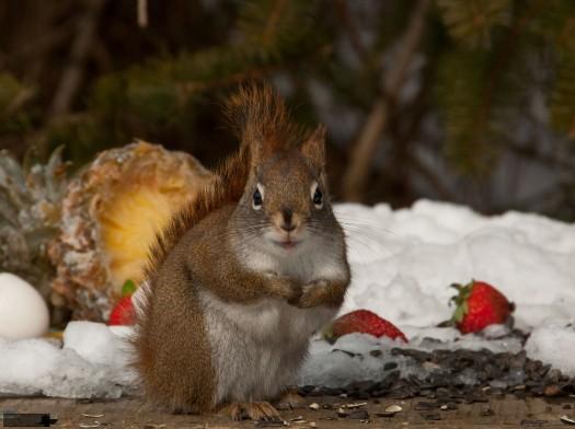 squirrel_pineapple