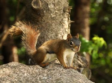 generic squirrel